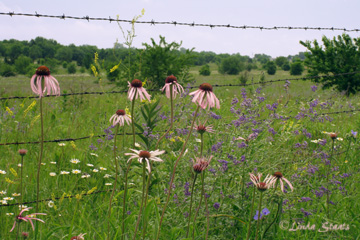 Kansas wildflowers_Staats