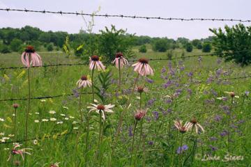 Kansas wildflowers_Staats