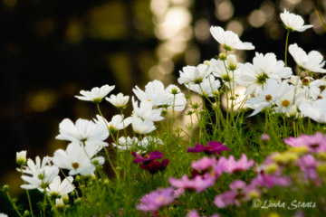The dance of the white cosmos 50841_Staats