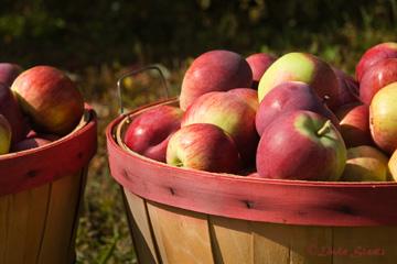Apple harvest 51178_Staats