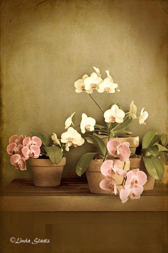 Orchid still life 0794_Staats