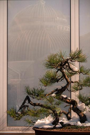 Ponderosa pine bonsai 7D1232_Staats