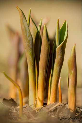 Tulip sprouts 7D_1364 _Staats