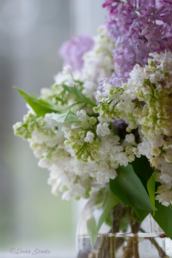 Whtie & purple lilacs 7D_1731 _Staats