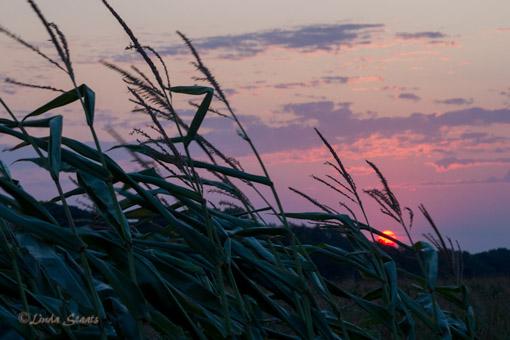Daybreak in the cornfield_Staats