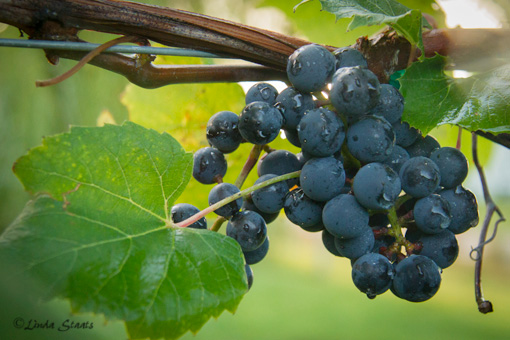 Frontenac grape cluster 3310_Staats