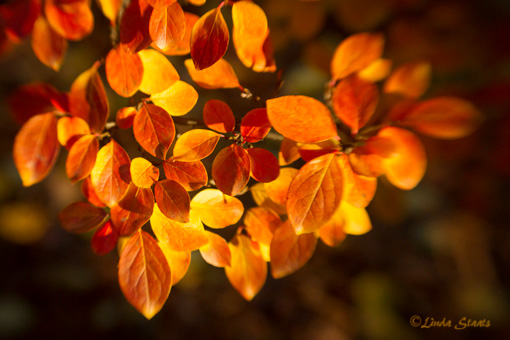 Autumn gold 3889_Staats