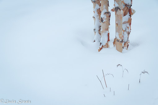 Paper birch of winter_Staats