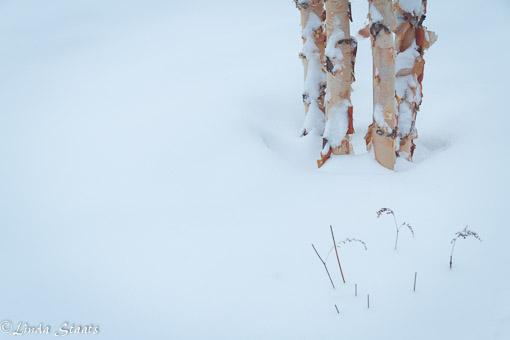 Paper birch of winter_Staats