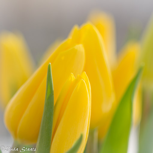 Yellow tulips_Staats