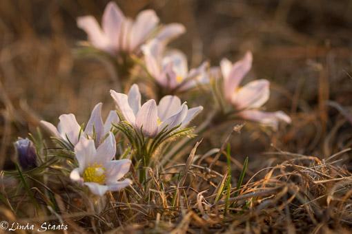 Pasque flowers_Staats
