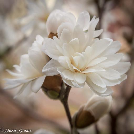 Magnolia 1436.Staats
