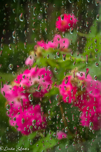 Roses through the rain_Staats