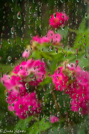 Roses through the rain_Staats