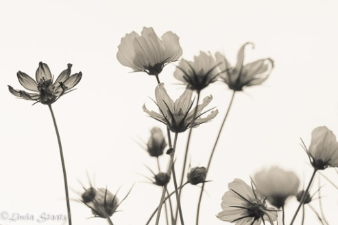 Cosmos against the sky_Staats