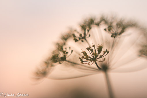 Dill at sunset_Staats