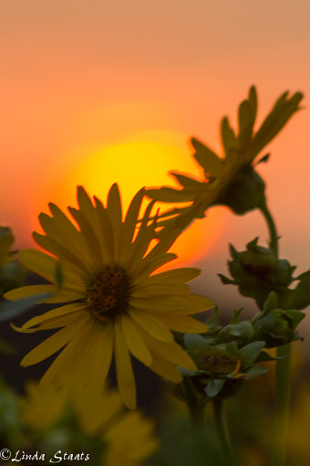 Sunflowers at sunset_Staats