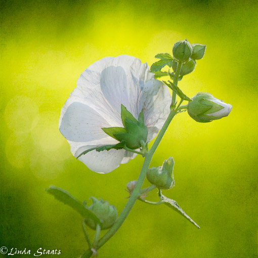 Glowing white hollyhock_Staats