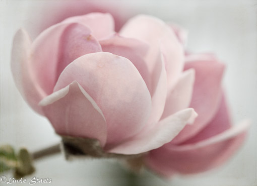 Magnolia blossoms_Staats 8644_