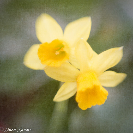 Soft daffodils_Staats 8674