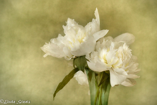 The time of peonies 62357