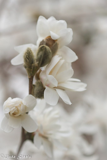 Magnolia blossoms 9374_Staats