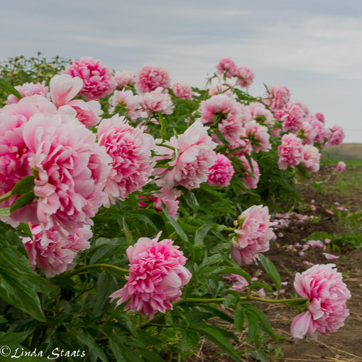 Peonies in a row Staats_9851