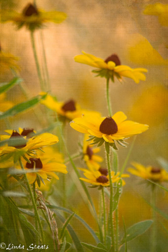 Rudbeckia at sunset_staats 10158