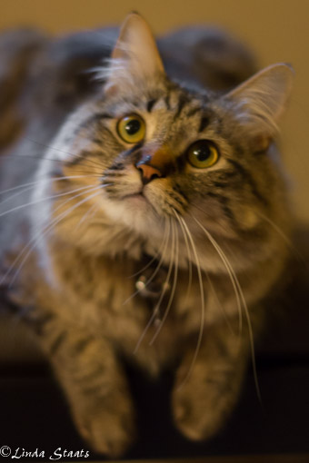 Leo the cat 10532_Staats