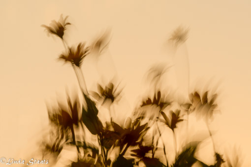 Dancing flowers at sunset 10273_Staats