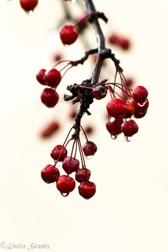 Cranberries in the rain_Staats-11922