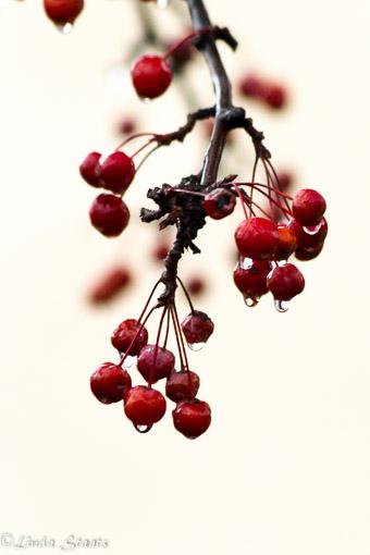 Cranberries in the rain_Staats-11922
