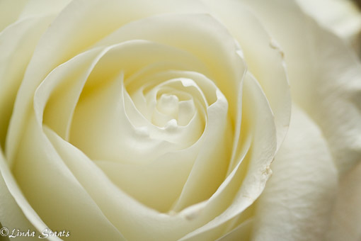 White rose 12131_Staats