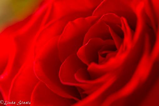 Valentine rose_Staats 12479