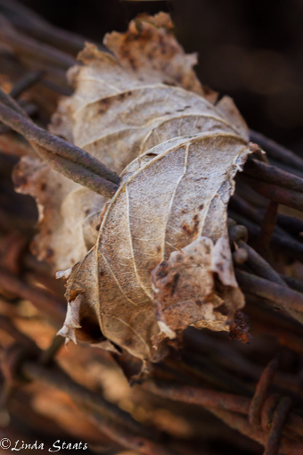 Weathered leaf_12586 Staate