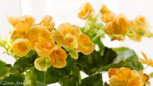 Yellow begonias 12626_Staats