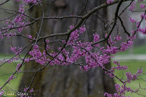 Redbud tree 12811_Staats