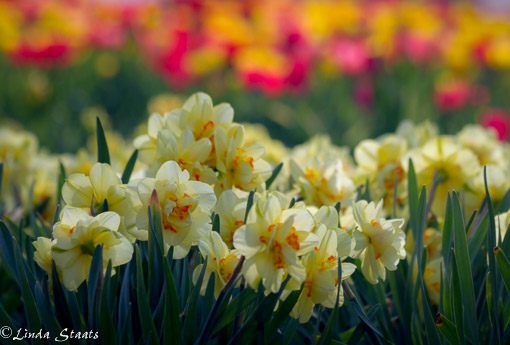 Spring daffs and tulips 12834_Staats