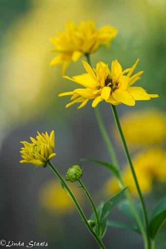 Yellow of summer 13640_Staats