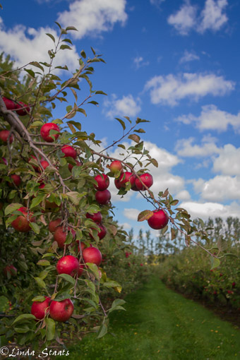 red-apples-on-a-blue-sky-day-13959_staats