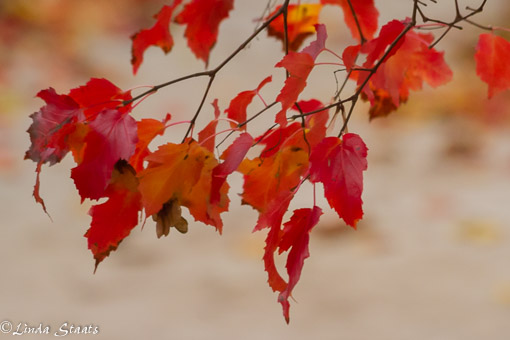 amur-maple-leaves-14624_staats