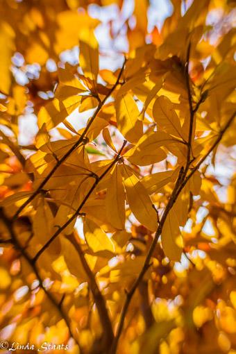 golden-magnolia-colors-14733_staats