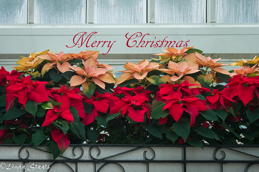 holiday-poinsetties-15330_staats
