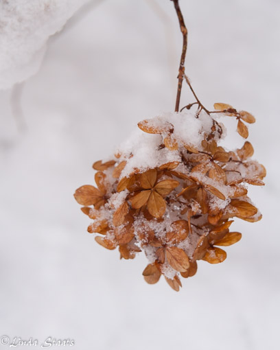 snow-dusted-hydrangea_staats-15369