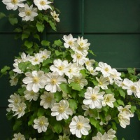 A burst of clematis blooms