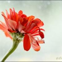 A single zinnia