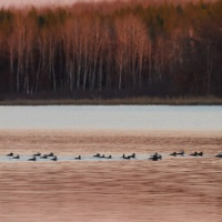 Mergansers migrating through